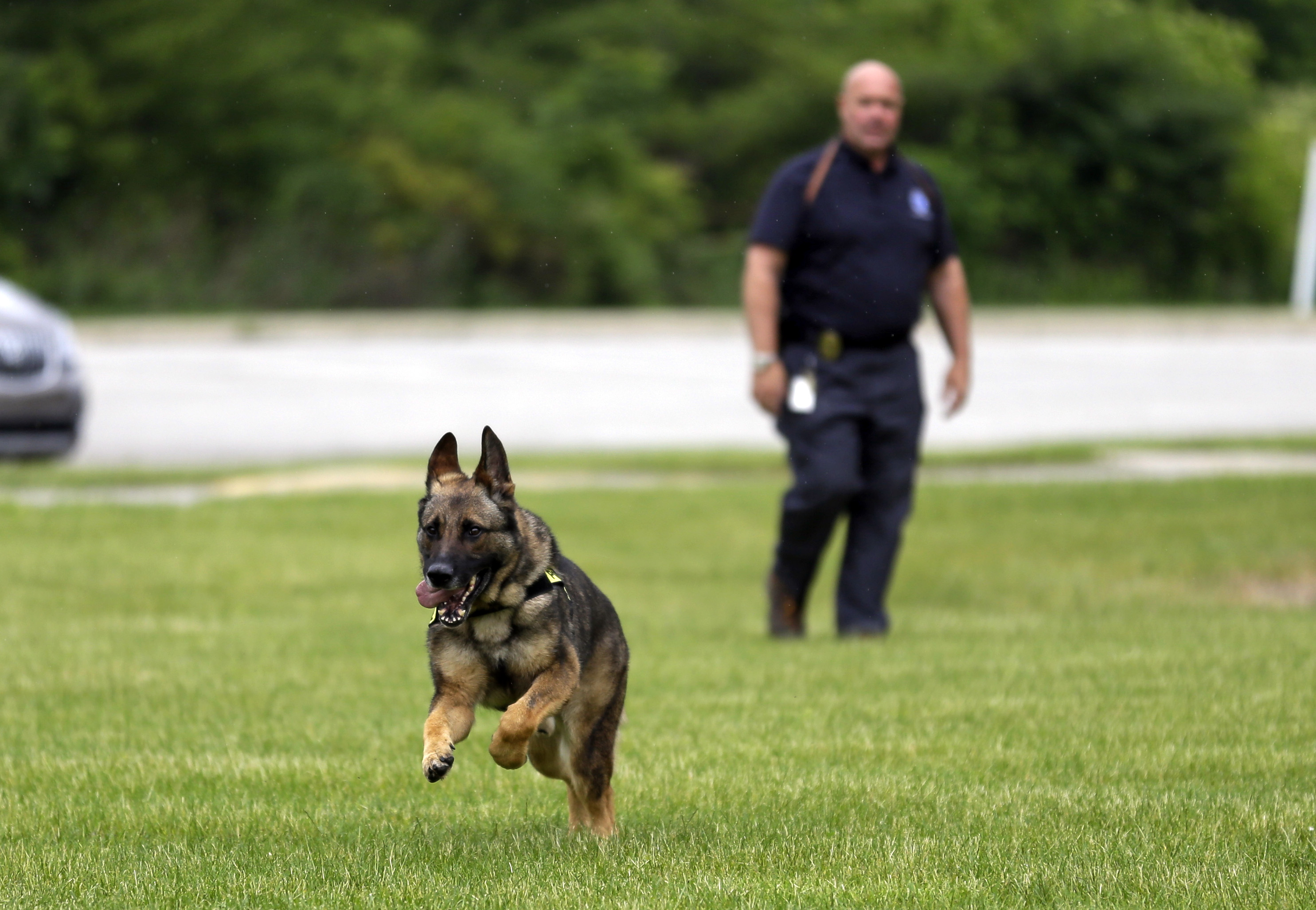CORRECTS SPELLING OF NAME TO AXEL, NOT AXLE - In this photo taken June 1, 2015, Lawrence Police Department Officer Matthew Hickey watches as his dog Axel performs a search drill at a school in Indianapolis. Axel, a 5-year-old German shepherd that spent three years in Afghanistan as a search and narcotics dog, will spend the rest of his working career in Indianapolis, where he's been assigned to the Lawrence Township School District police force. (AP Photo/Michael Conroy)