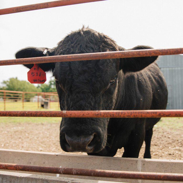 Cloud's-Meats-Cows