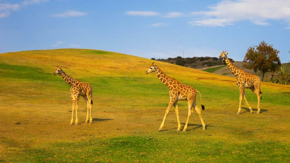 Giraffes at Safari Park San Diego, only 5 minutes from the bed and breakfast.