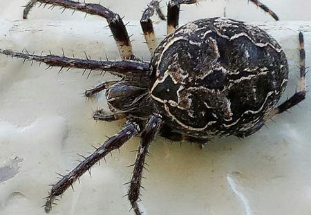 Thumbnail for the post titled: America's 3 Most Dangerous Spiders