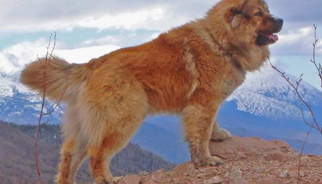 Top Five Survival Dog Breeds