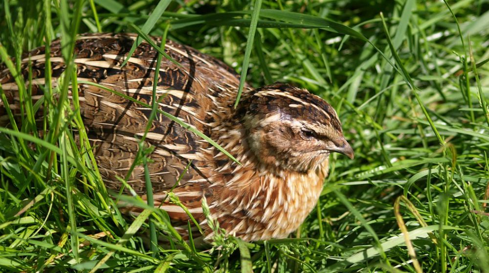 Thumbnail for the post titled: Raising Quail for Eggs and Meat