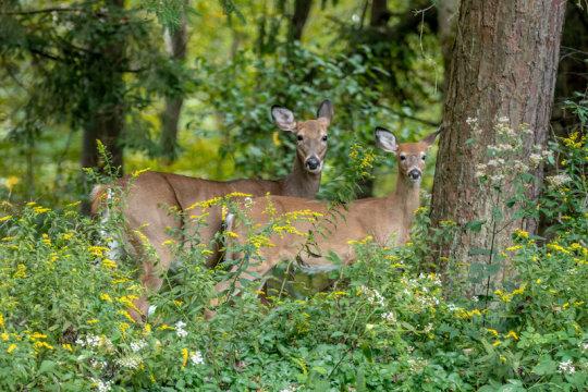Citizen Scientists Help Track Parasitic Deer Flies