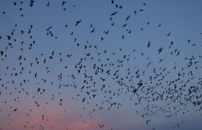 Thumbnail for the post titled: How to Attract Bats for Natural Pest Control