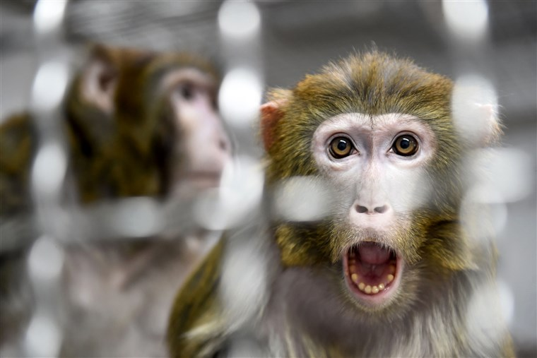 Thumbnail for the post titled: Chinese Scientists Add Human Genes to Monkey Brains