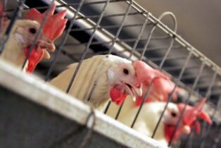 Farmer Says 61,000 Chickens Euthanized as Egg Sales Drop