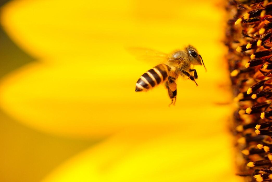 Thumbnail for the post titled: Controversial Herbicide Harming Honeybees?