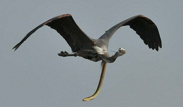 Swallowed Eel Burrows Out of a Heron's Throat Mid-Air