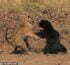 Astonishing moment huge tiger launches attack on world's 'deadliest bear'