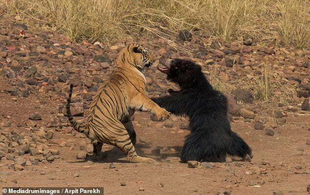 Thumbnail for the post titled: Astonishing moment huge tiger launches attack on world's 'deadliest bear'