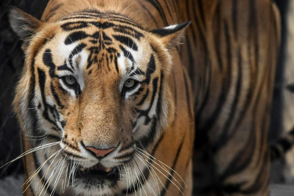Thumbnail for the post titled: Tiger Drags Away 15-Year-Old Girl Working In Cotton Field