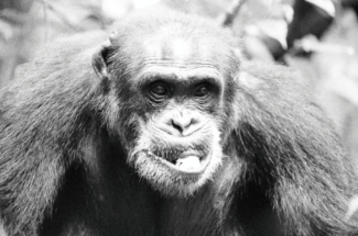 Thumbnail for the post titled: How AIDS Came To Be – Starving Soldier Forced To Hunt Chimps For Food