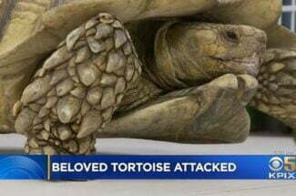 Thumbnail for the post titled: Homeless Man Arrested After Tortoise Attack