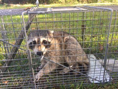 Raccoon Removal Prattville, AL
