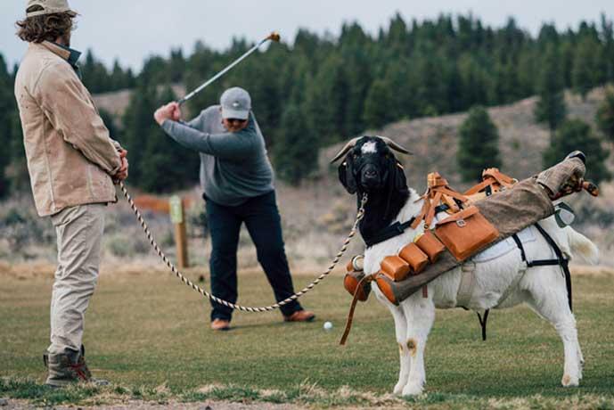 Goat Caddies Make Debut