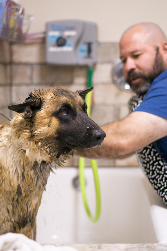 German Shepard getting a bath at lovin arms