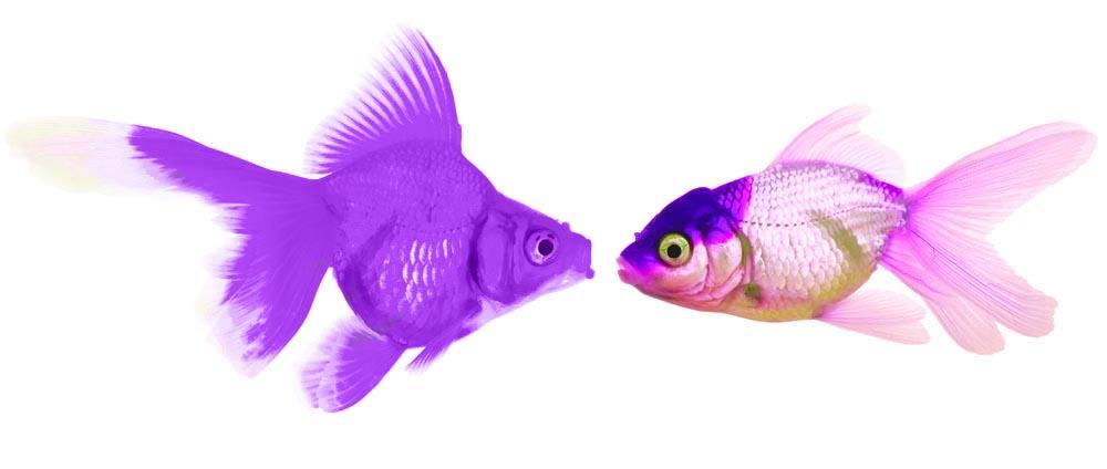 Purple Goldfish 1.3
