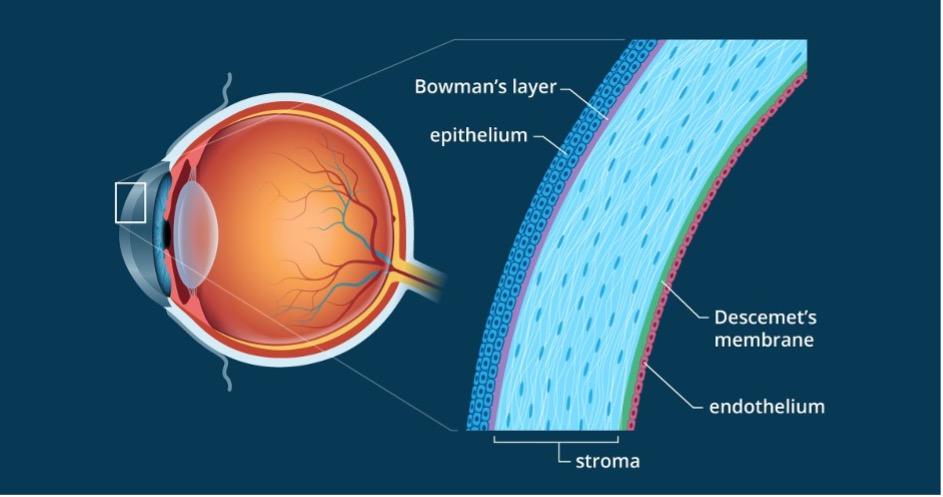 Medical diagram of the cornea