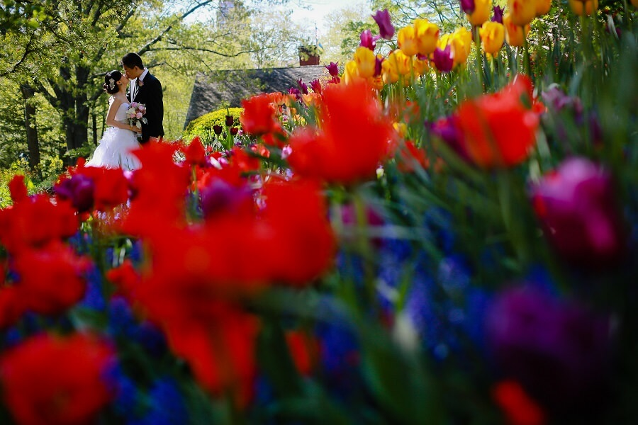 Bride and groom kissing in Shakespeare Garden with colorful tulips in foreground