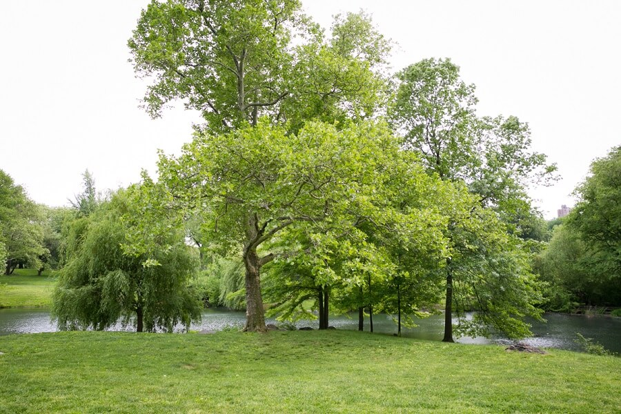 Lush green trees by the Pool in Central Park during summer
