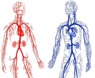 Two outlined bodies to show how complex the blood system is. One has red arteries. One has blue veins.