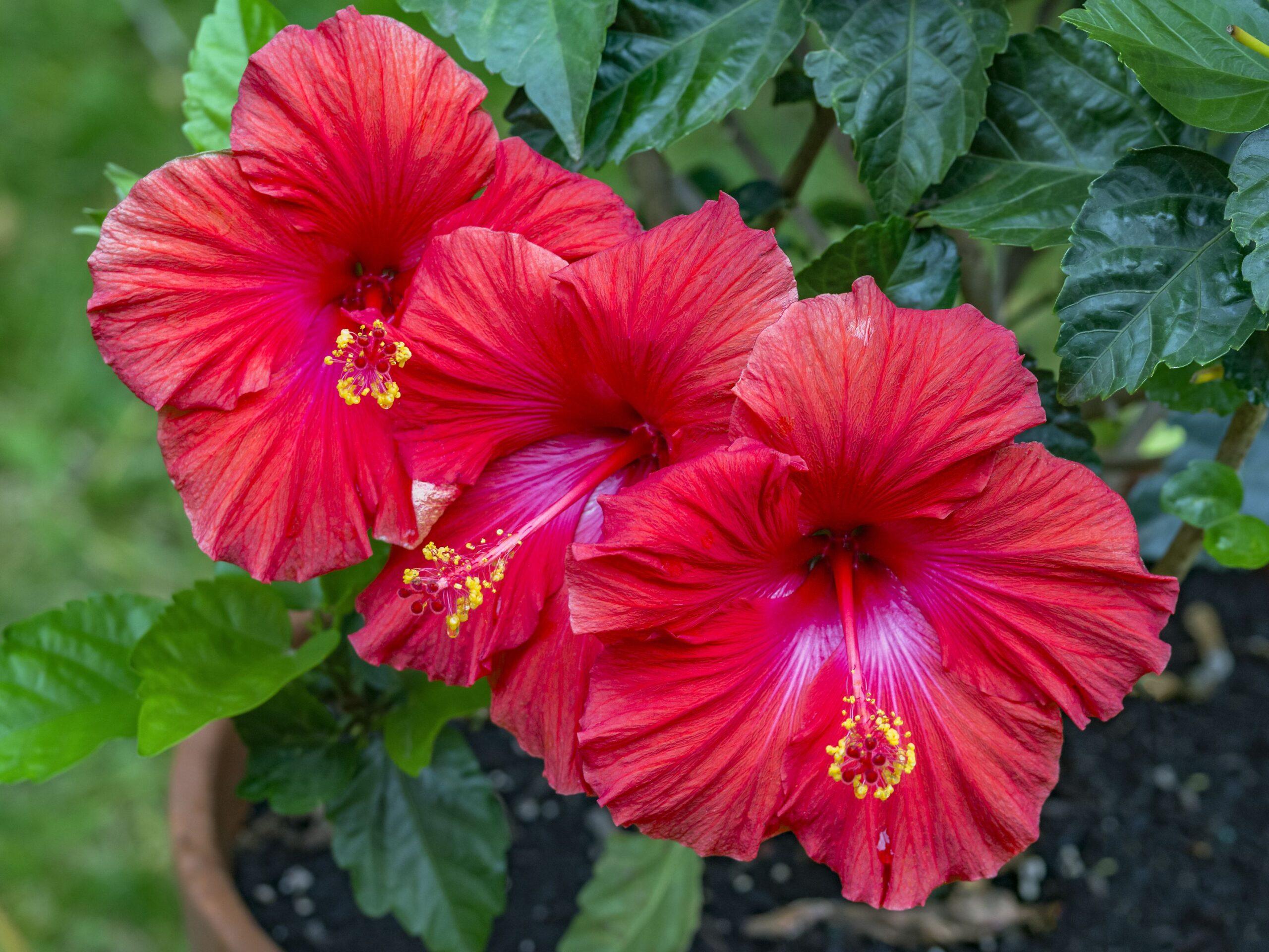 hibisc