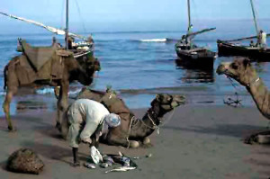 A man loading his fish onto camels on the Makran Coast of Pakistan, Gwadar 1981 Picture by Christine Osborne