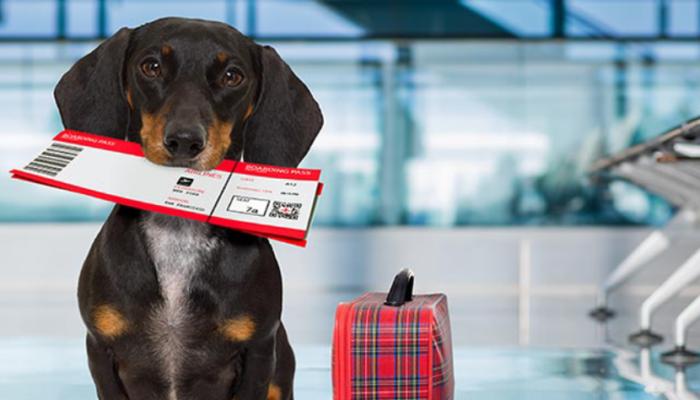 Lo Que Usted Debe Saber Antes De Viajar Al Extranjero Con Su Mascota