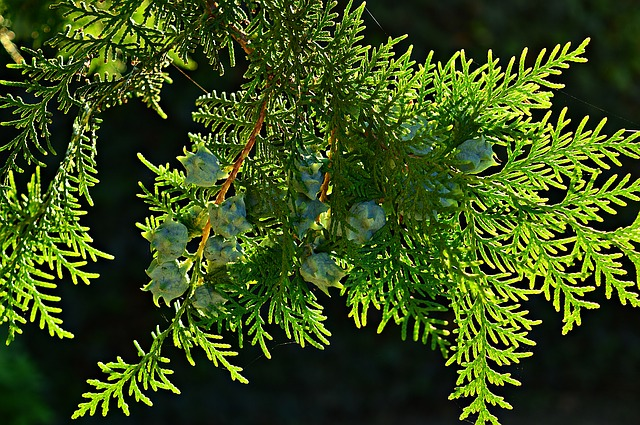 THE THUJA GENERATIONS