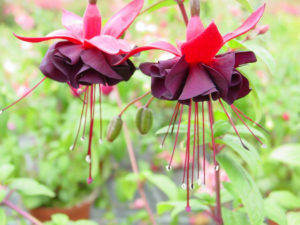 Fuchsia - Upright