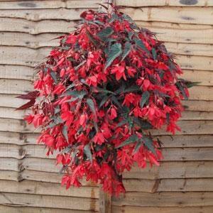 Begonia - Trailing