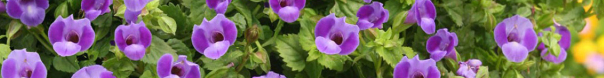 Category: Petunias