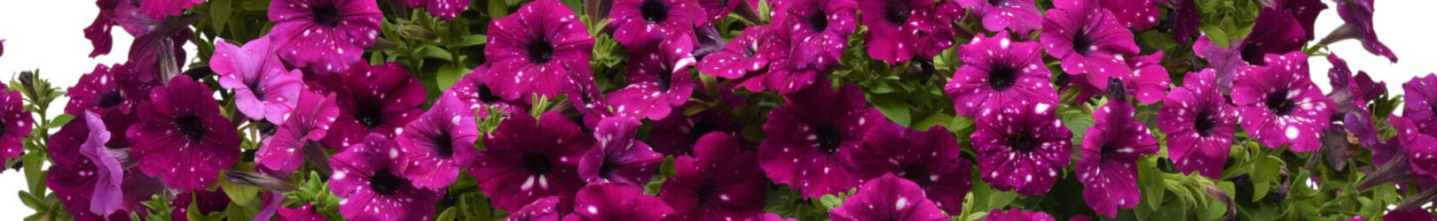 Nemesia Juicy Fruit Cherry on Ice