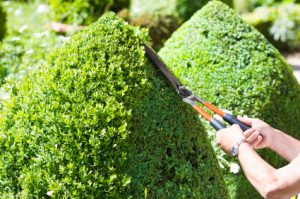 A gardener cuts the topiary box wood hedge into neatly trimmed cones.