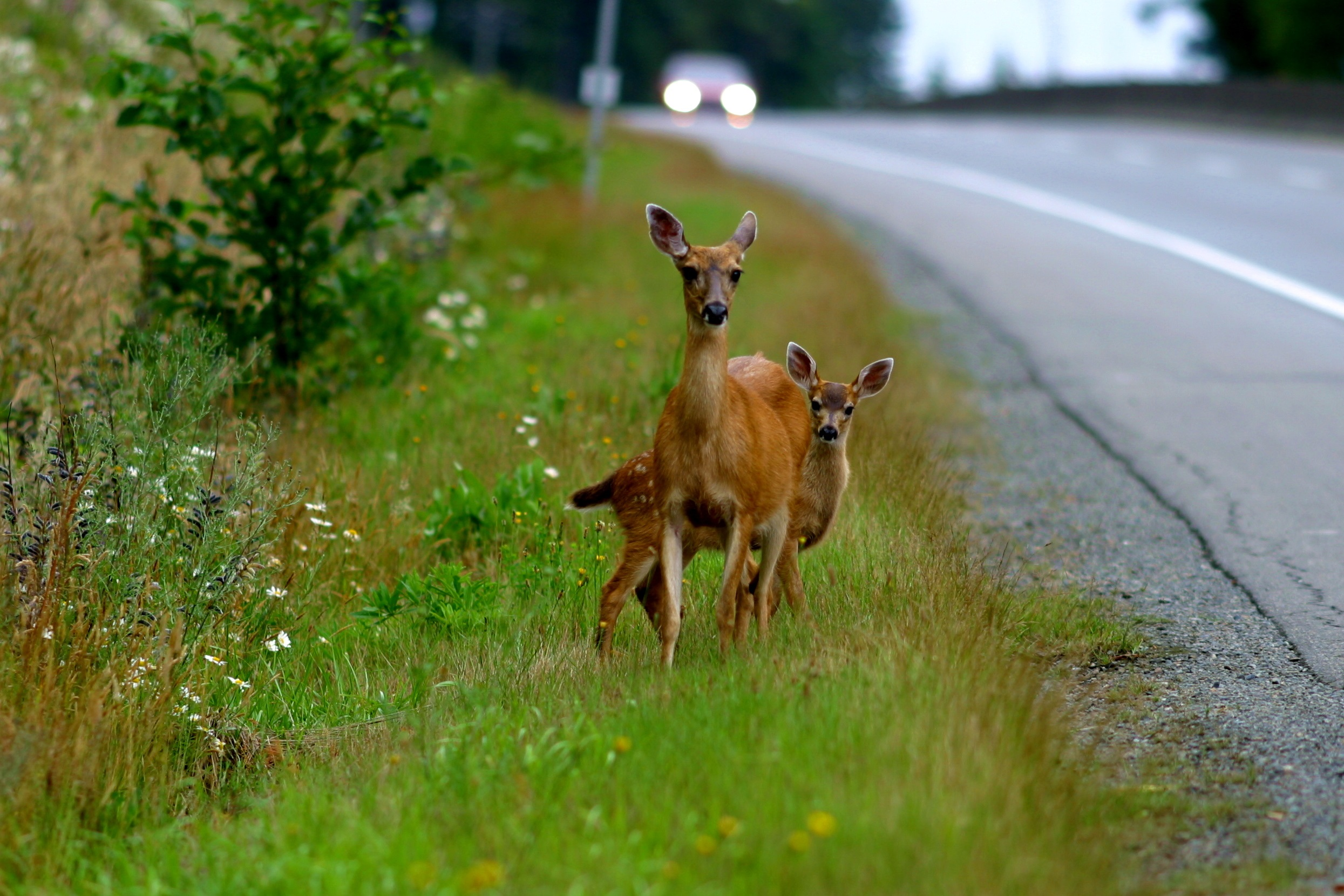 deer collisions