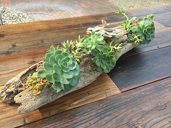 succulent, succulent center piece, driftwood, succulent art, living center piece, barn wood furniture, urban garden studio