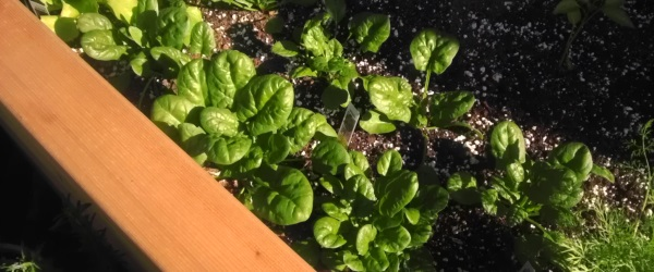 Spinach in SIP planter