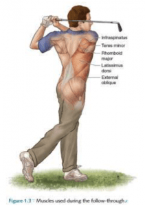 Muscles used to optimize the golf followthrough