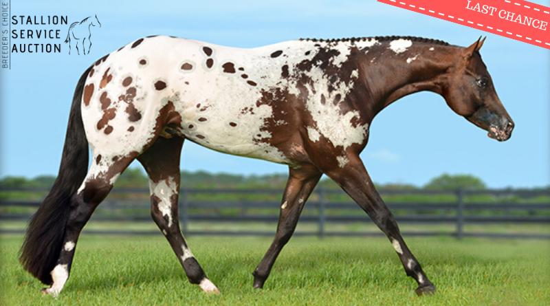 ApHC Stallion Service Auction – Bidding Closes Today!