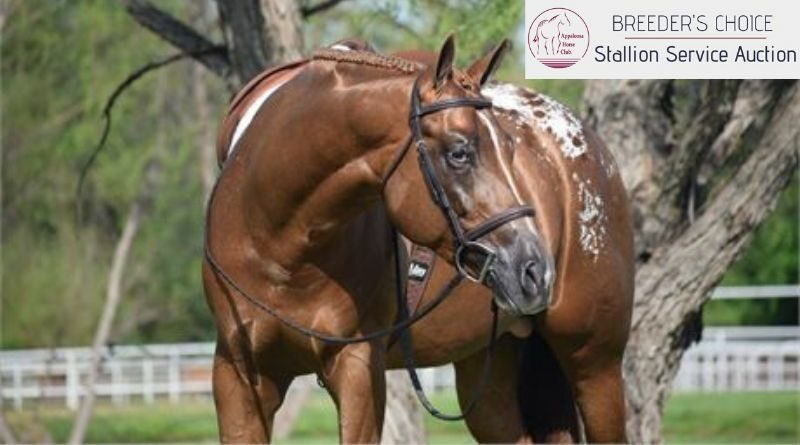 2019 ApHC Stallion Auction Shows its Colors