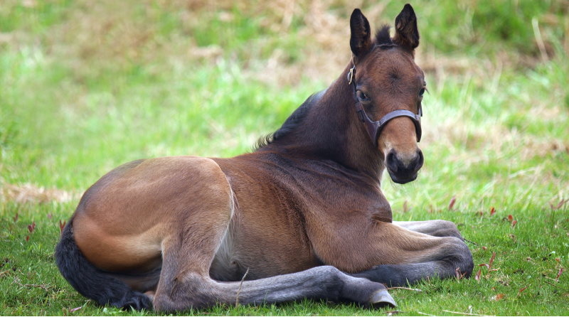 AQHA Offers Halter Breaking Your Foal E-Book