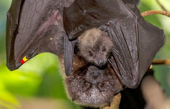 Những động vật hoang dã mang virus gây đại dịch - Ảnh 5.