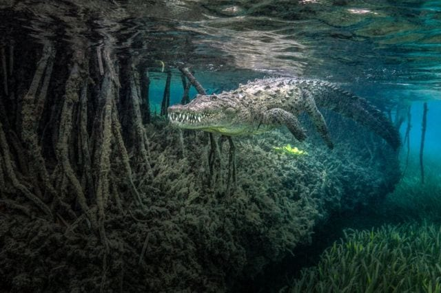 An underwater photo of a crocodile swimming amongst mangrove roots