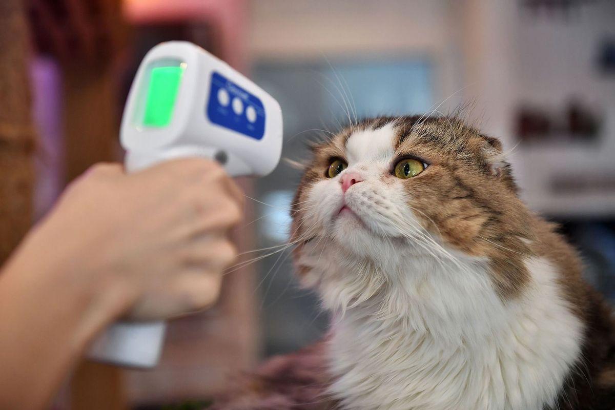 Mèo thuộc nhóm các loài động vật có khả năng bị virus Corona xâm nhập /// AFP