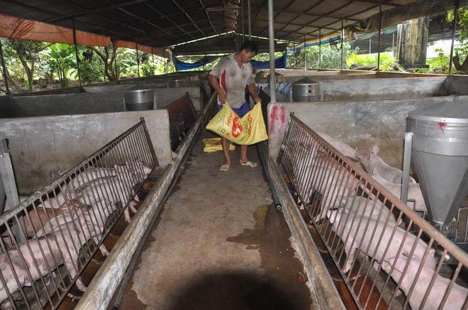 Theo chuyên gia, với lợi thế nước nông nghiệp, VN nên tính toán giảm lệ thuộc nguyên liệu thức ăn chăn nuôi nhập khẩu /// Ảnh: Độc Lập
