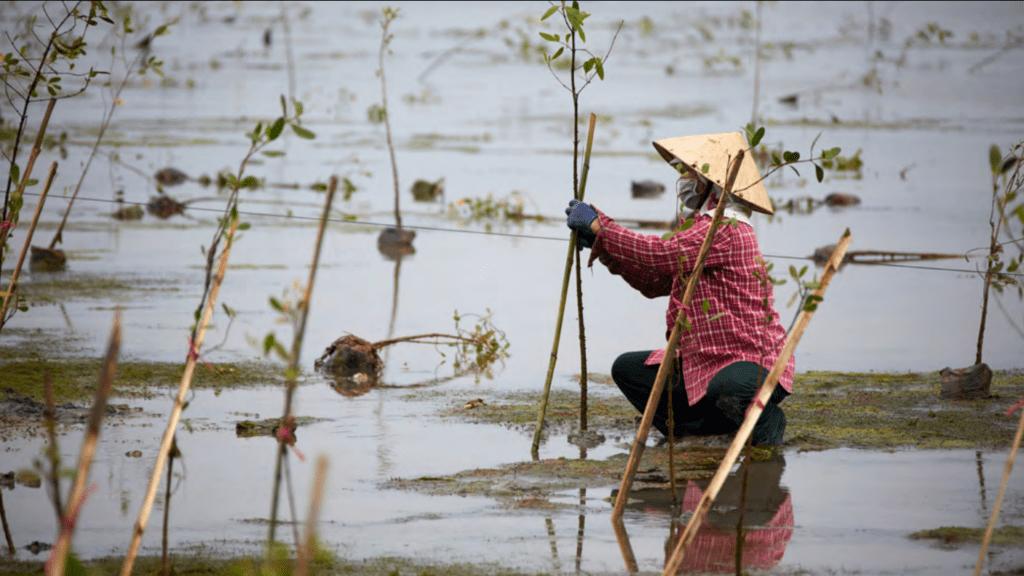 Dự án hướng tới việc trồng rừng ngập mặn ở phá Tam Giang (tỉnh Thừa Thiên - Huế) /// Trung tâm Nghiên cứu Phát triển Xã hội