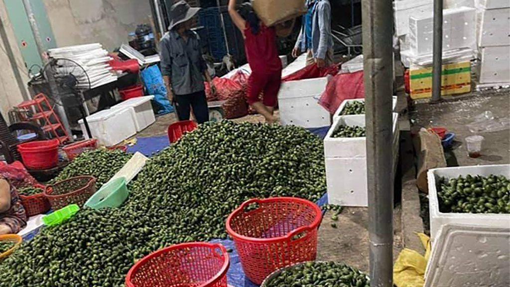 Giá cau non ở Đắk Lắk tăng cao ngất ngưởng khi thương lái tăng thu mua xuất khẩu đi Trung Quốc /// Đinh Đang