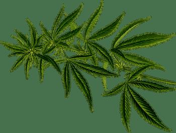 cannabear pot leaf