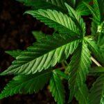 North Carolina Cannabis laws as of 2020