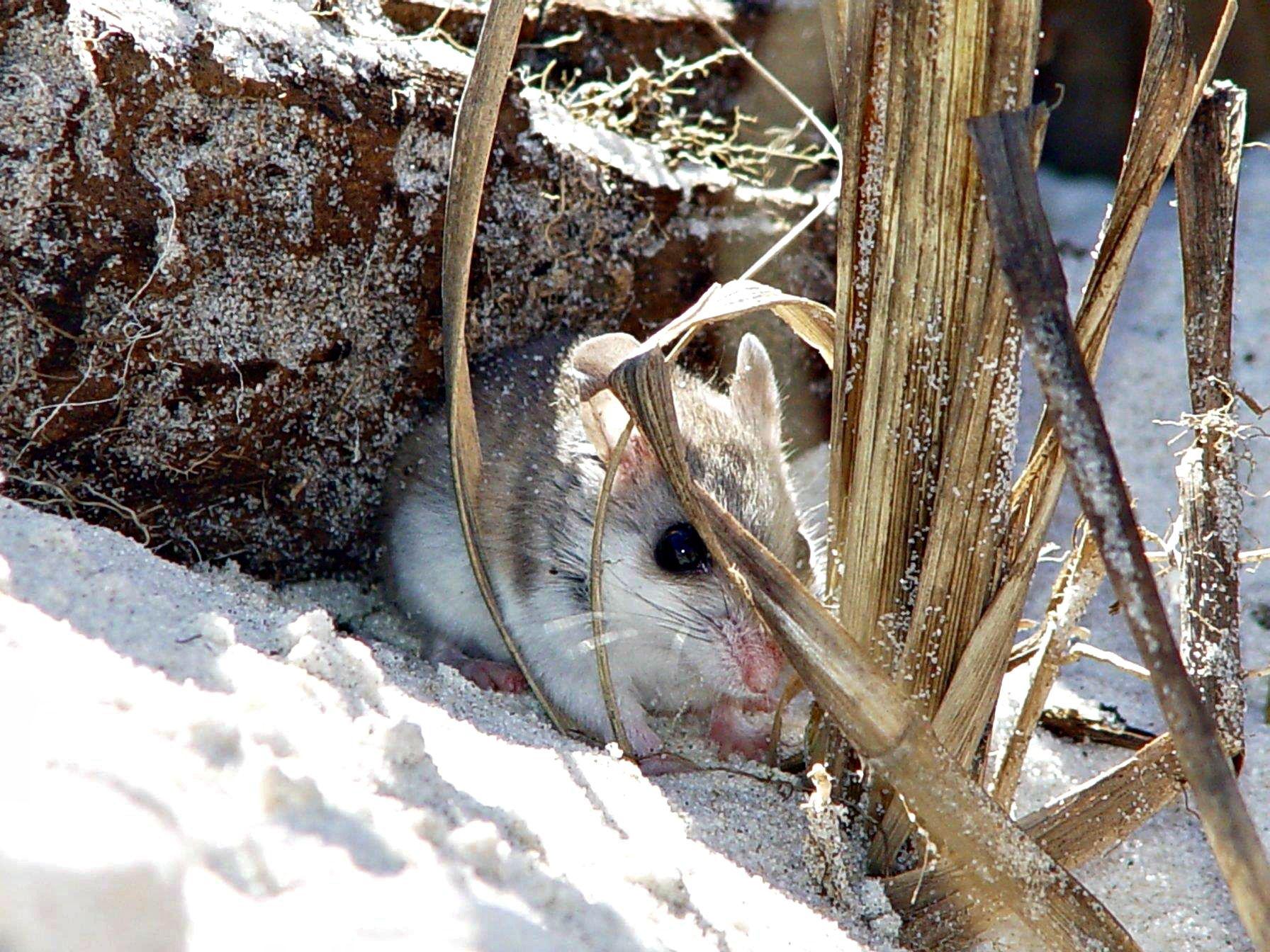 Anastasia State Park Beach Mouse